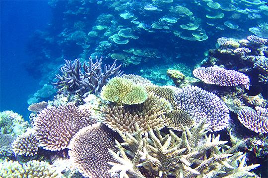 野底の海の珊瑚